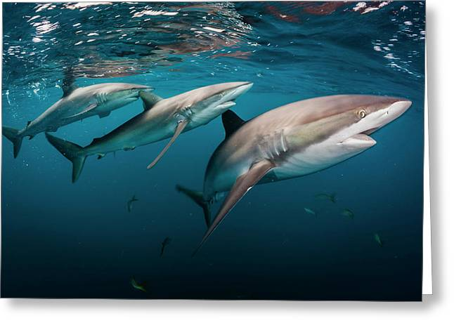 A Trio Of Silky Sharks, Carcharhinus Greeting Card by David Doubilet