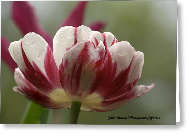 A Tulip After The Rain Greeting Card