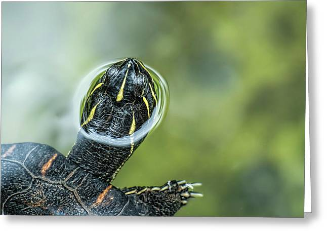 A Turtle Swimming With Its Head Peeping Greeting Card