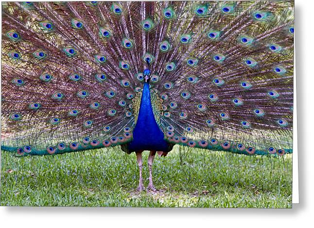 A Vargos Peacock Greeting Card by Tim Stanley