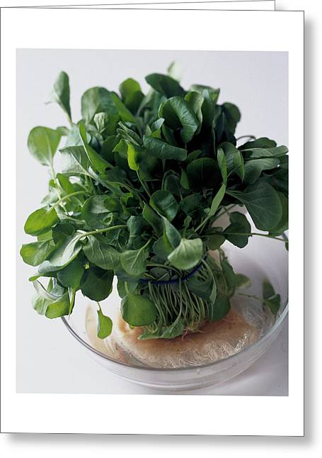 A Watercress Plant In A Bowl Of Water Greeting Card