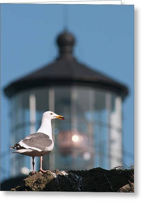A Western Gull  Larus Occidentalis Greeting Card