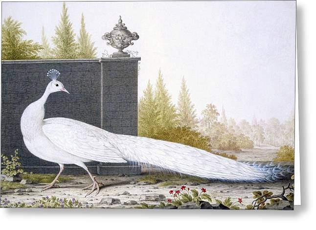 A White Peahen Greeting Card by English School