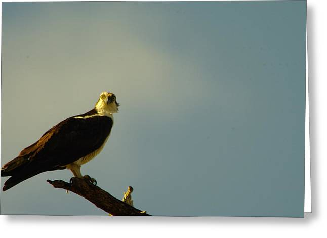 A Wide Eyed Osprey Greeting Card by Jeff Swan