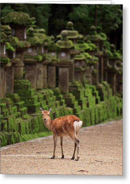 A Wild Deer Stands Next To A Long Line Greeting Card by Paul Dymond