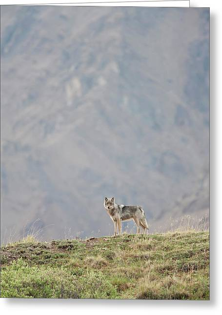 A Wolf From The Grant Creek Pack Greeting Card by Hugh Rose