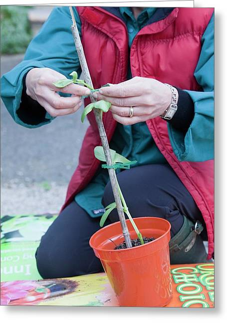 A Woman Potting On A Broad Bean Plant Greeting Card by Ashley Cooper