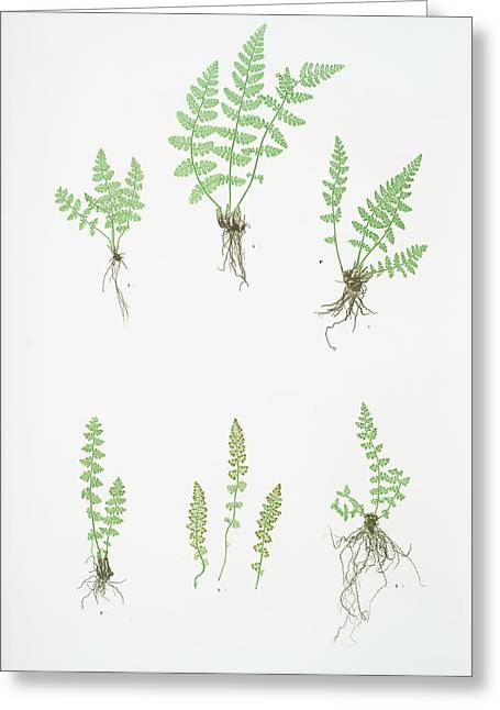A. Woodsia Ilvensis. B. W. Alpina Greeting Card by Litz Collection