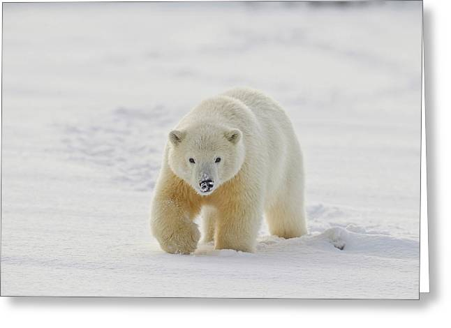 A Yearling Polar Bear Cub Plays Greeting Card by Hugh Rose