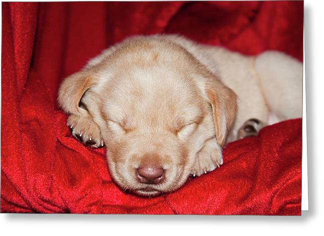 A Yellow Labrador Retriever Puppy Greeting Card by Zandria Muench Beraldo