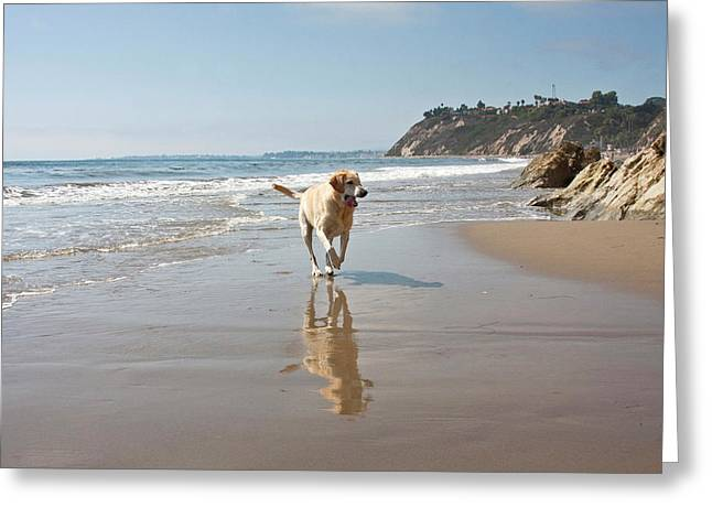 A Yellow Labrador Retriever Reflecting Greeting Card by Zandria Muench Beraldo