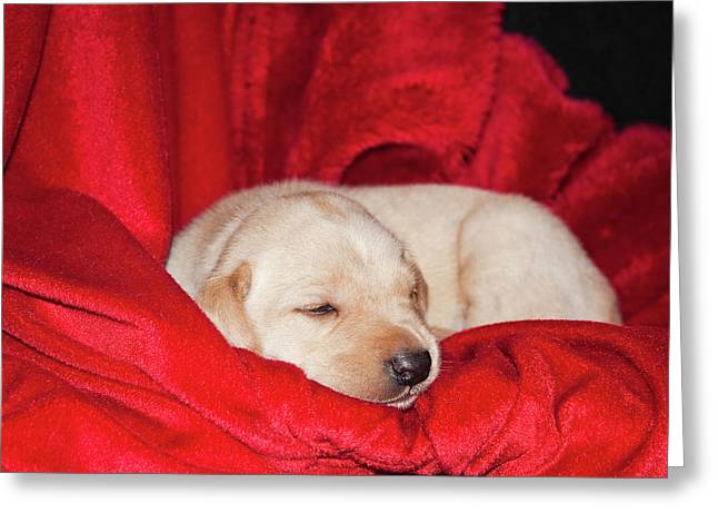 A Yellow Labrador Retriever Sleeping Greeting Card