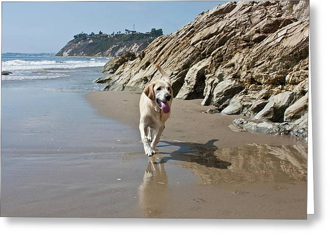 A Yellow Labrador Retriever Walking Greeting Card by Zandria Muench Beraldo