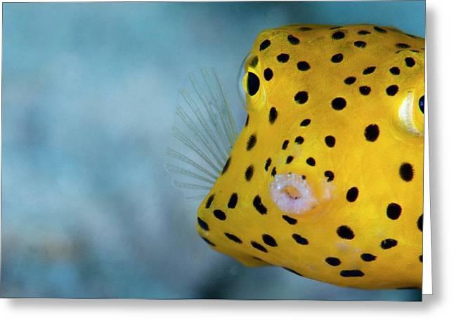 A Young Boxfish Greeting Card
