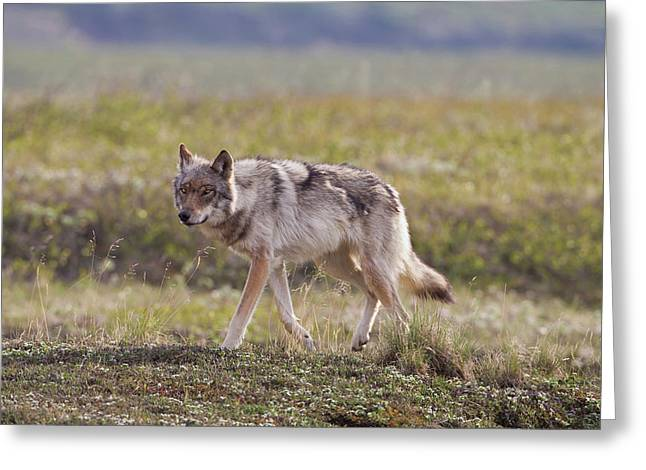 A Young Gray Wolf From The Grant Creek Greeting Card by Hugh Rose