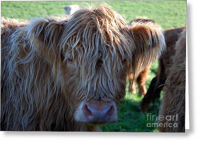 A Young Highland Cow Gazing Intently 0838 Greeting Card
