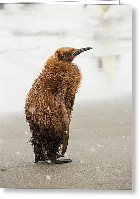 A Young King Penguin Greeting Card