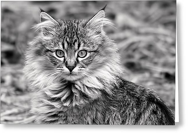 A Young Maine Coon Greeting Card