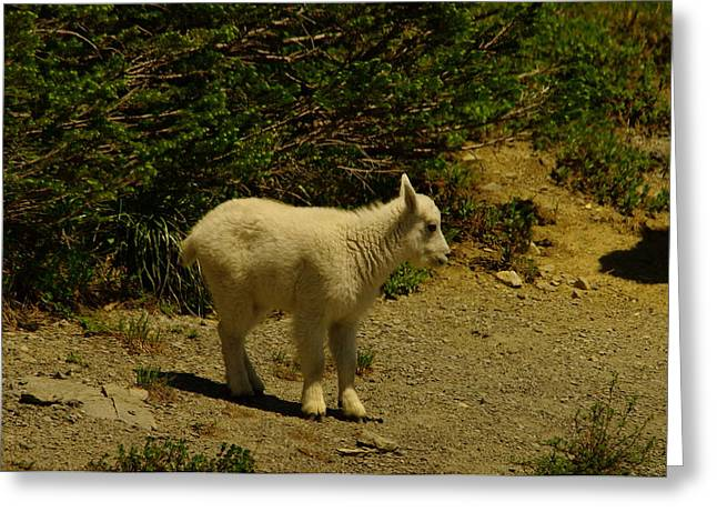 A Young Mountain Goat Greeting Card by Jeff Swan