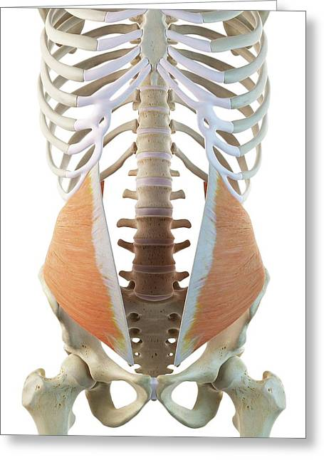 Abdominal Muscle Greeting Card