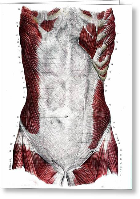 Abdominal Muscles Greeting Card by Collection Abecasis