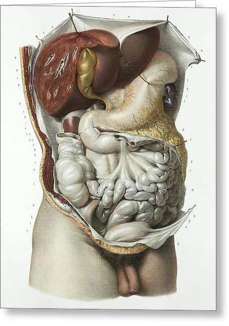 Abdominal Organs Greeting Card