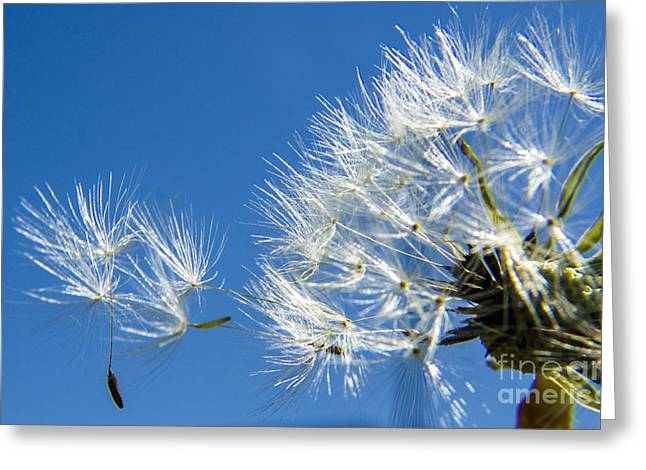 About To Leave - Dandelion Seeds Greeting Card