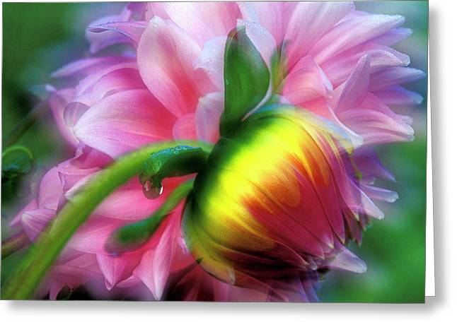 Abstract Of Dahlia And Bud Greeting Card by Jaynes Gallery