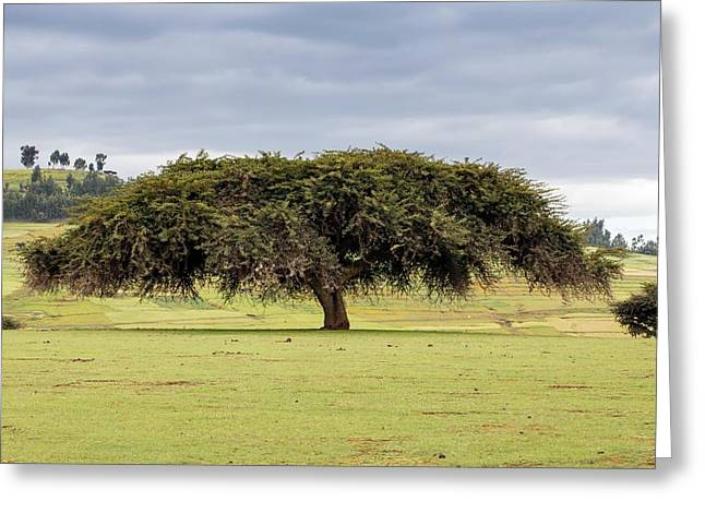 Abyssinian Acacia Tree Greeting Card by Peter J. Raymond