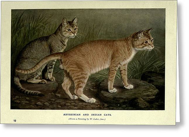 Abyssinian And Indian Cats Greeting Card by Philip Ralley