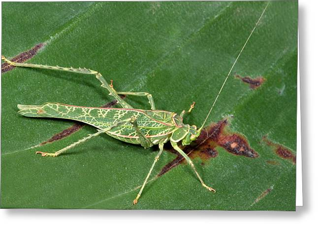 Acacia Katydid Greeting Card