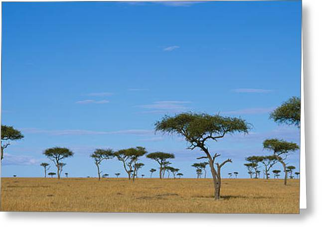 Acacia Trees On A Landscape, Maasai Greeting Card by Panoramic Images