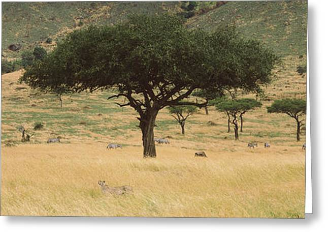 Acacia Trees On Hillside, Masai Mara Greeting Card by Panoramic Images