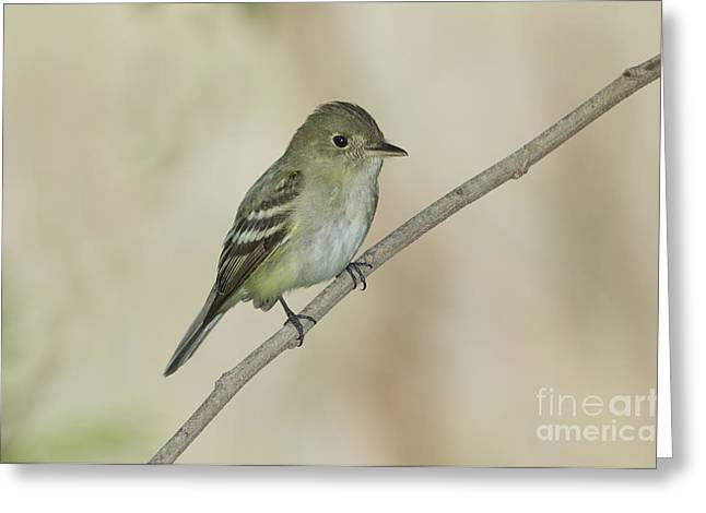 Acadian Flycatcher Greeting Card by Anthony Mercieca