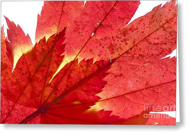 Acer From Beneath Greeting Card by Anne Gilbert