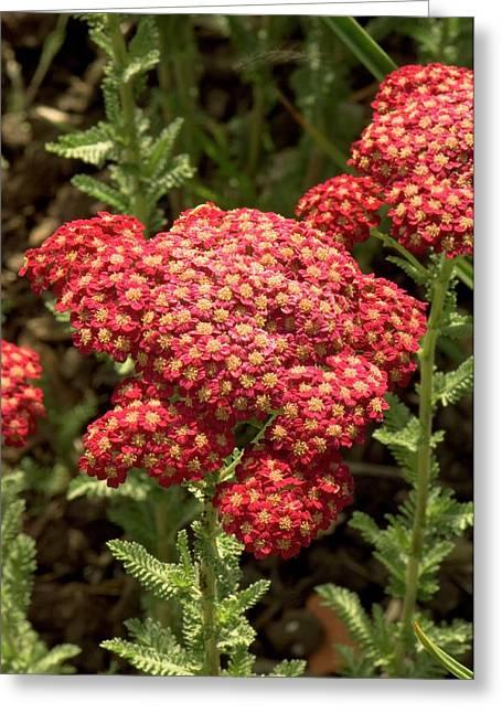Achillea Millefolium 'red Velvet' Greeting Card