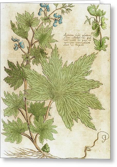 Aconitum Seventeenth-century Engraving Greeting Card by Prisma Archivo