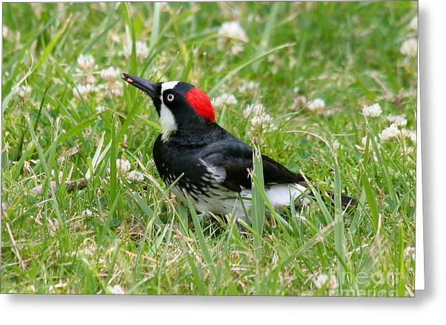 Greeting Card featuring the photograph Acorn Woodpecker Foraging by Bob and Jan Shriner