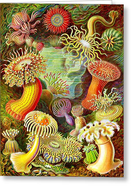 Actinia Sea Creatures Greeting Card by Unknown