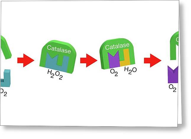 Action Of Catalase On Hydrogen Peroxide Greeting Card