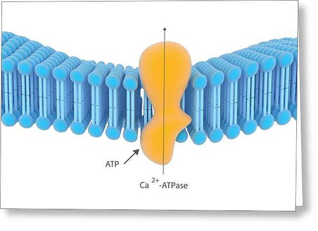 Active Membrane Transport Greeting Card by Science Photo Library