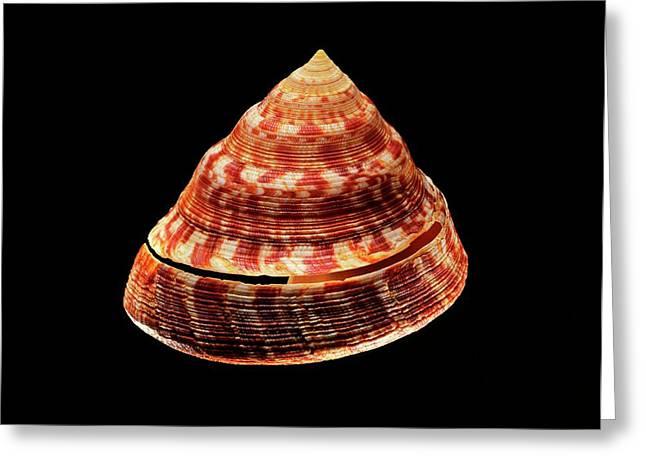 Adanson's Slit Shell Sea Snail Shell Greeting Card