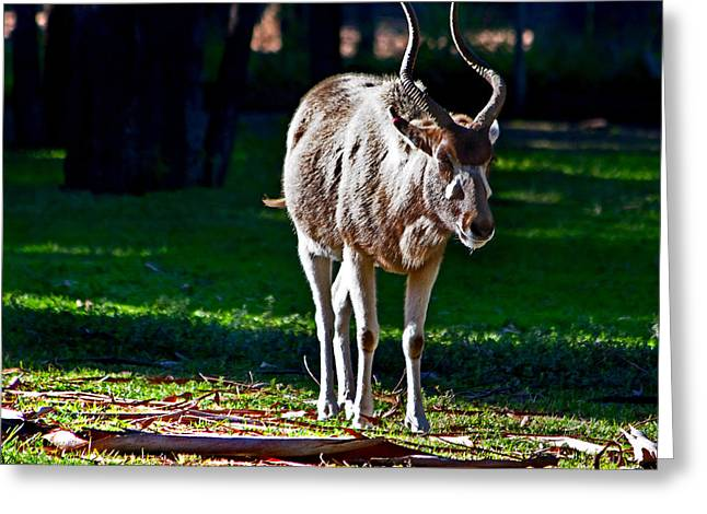Addax Greeting Card