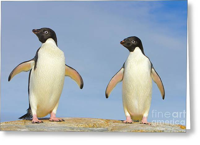 Adelie Penguin Duo Greeting Card by Yva Momatiuk John Eastcott
