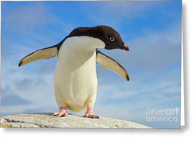 Adelie Penguin Flapping Wings Antarctica Greeting Card by Yva Momatiuk John Eastcott