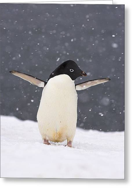 Adelie Penguin In Snowstorm Greeting Card by Steven Kazlowski