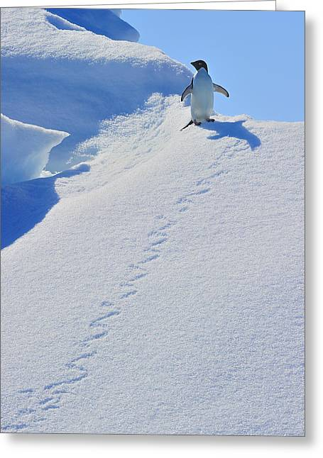 Adelie Penguin On Bergie Bit Greeting Card by Tony Beck