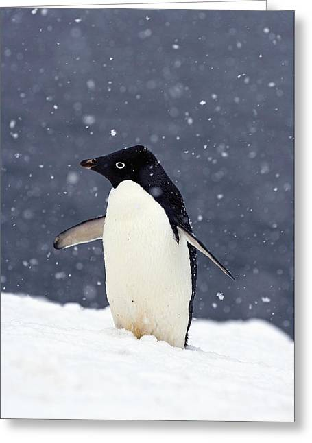 Adelie Penguin Standing In Fresh Greeting Card by Steven Kazlowski