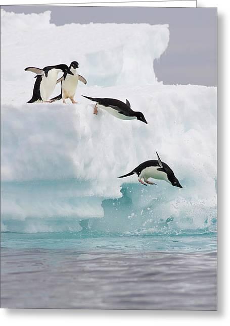 Adelie Penguins Diving Off Iceberg Greeting Card by Suzi Eszterhas