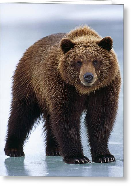 Adolescent Brown Bear Standing Greeting Card by Doug Lindstrand
